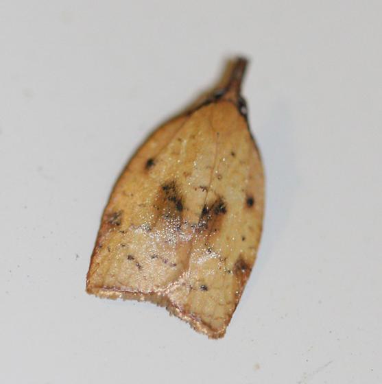 Sparganothis xanthoides? - Sparganothis xanthoides