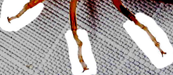 unknown earwig - Labidura riparia - male