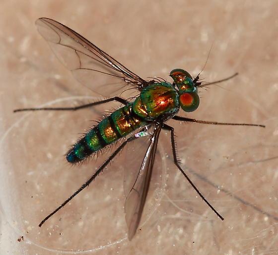 Longlegged Fly - Condylostylus longicornis - male