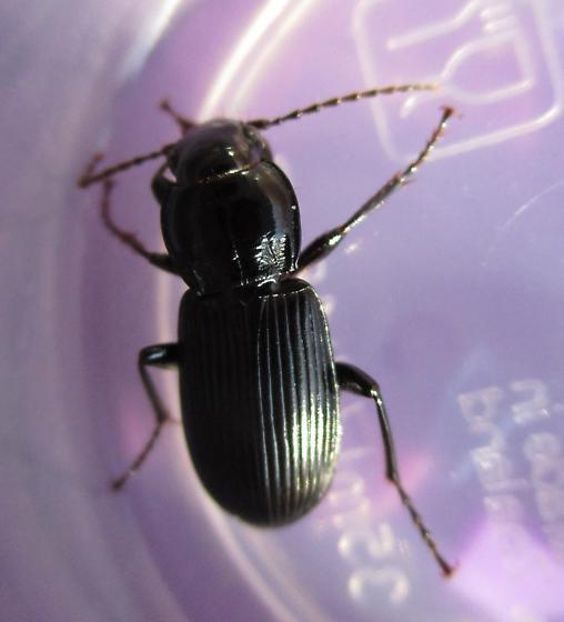 Shiny Ground Beetle - Pterostichus melanarius