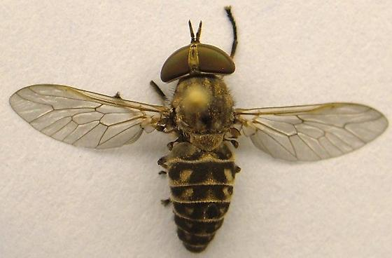 Horse Fly - Tabanus sparus