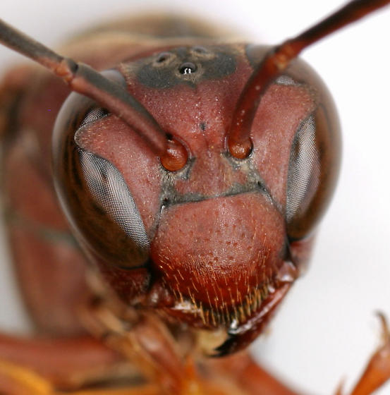 Polistes metricus wasp