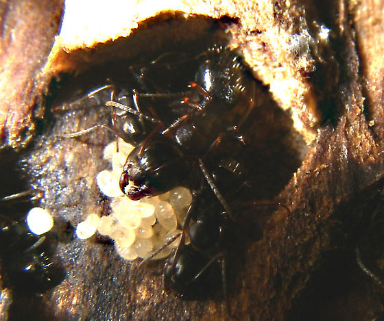 Ants in a little colony under birch bark, think I have a queen - Camponotus nearcticus - female