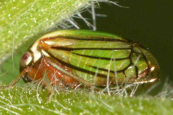 hopper - Acutalis tartarea
