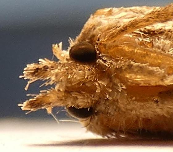 Acrolophus sp. - Acrolophus