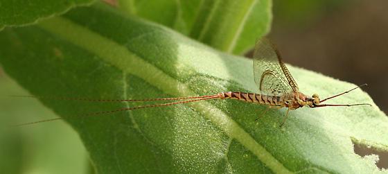 large mayfly - Hexagenia limbata
