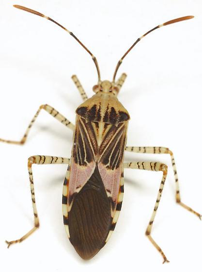 Hypselonotus punctiventris Stål - Hypselonotus punctiventris