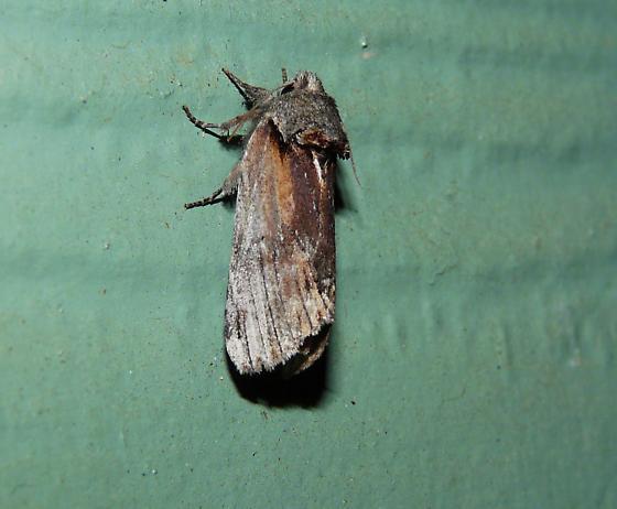 Moth ID help. - Schizura concinna
