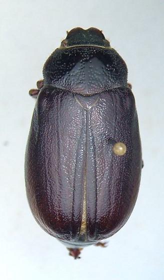 Phyllophaga rugosa - female