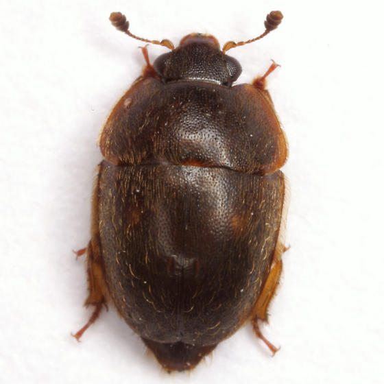 Amphicrossus ciliatus (Olivier) - Amphicrossus ciliatus