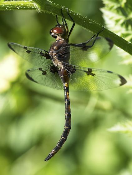 Prince Baskettail Dragonfly? - Epitheca princeps