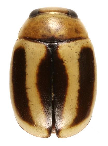 Hyperaspidius vittigerus