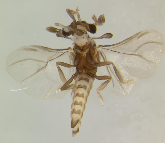Strepsiptera - Halictophagus - male