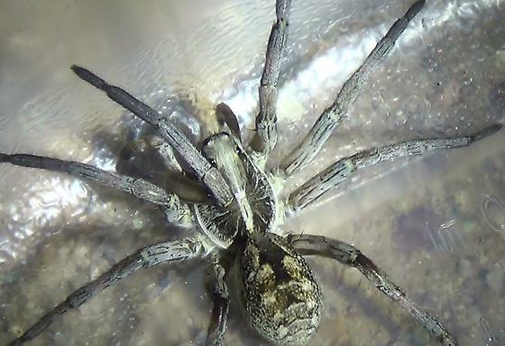 Wolf Spider - Smaller Abdomen - Hogna carolinensis - female