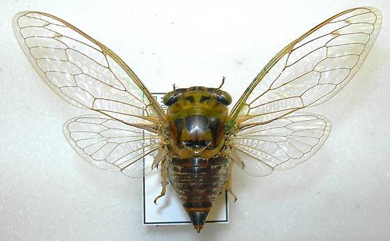 Tibicen davisi nr. harnedi - Neotibicen davisi - female