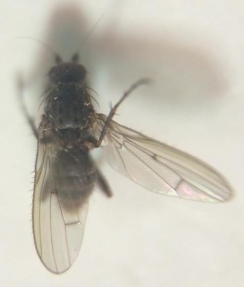 Fly - Oecothea specus