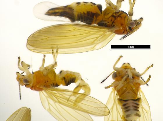 California Cercopidae - Ctenarytaina spatulata