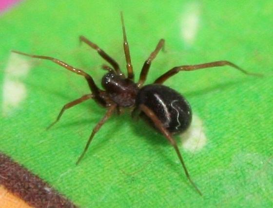 Small Unusual Spider - Zodarion - male