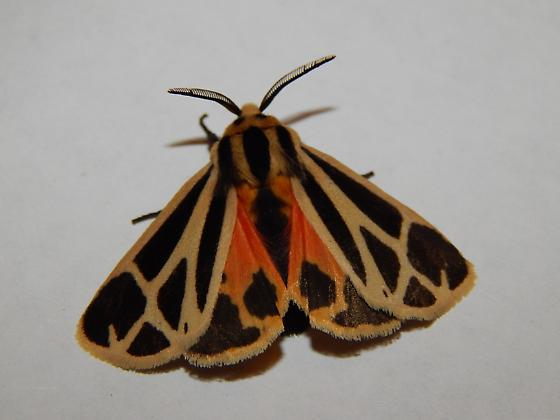 Harnessed Tiger Moth - Apantesis