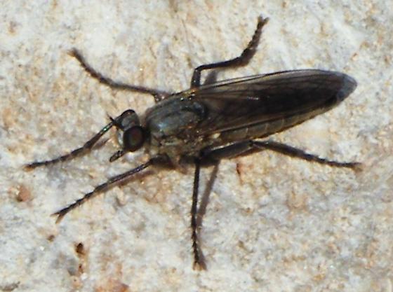 Lasiopogon quadrivittatus - female