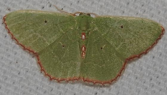Nemoria lixaria - Red-bordered Emerald - Hodges#7033 - Nemoria lixaria - male