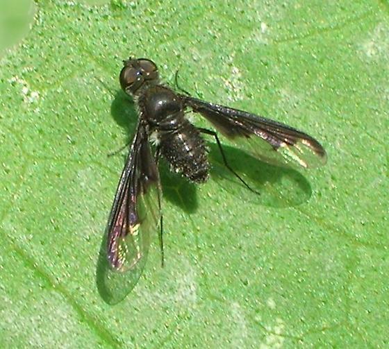 Backyard Bombyliid - Anthrax argyropygus - female