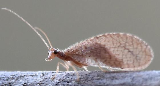 Weird beast - caddisfly like - Micromus posticus