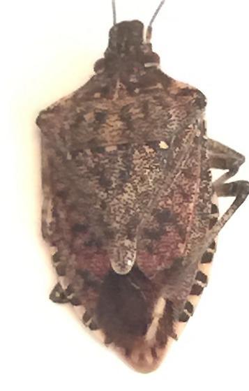 Beetle type? - Halyomorpha halys