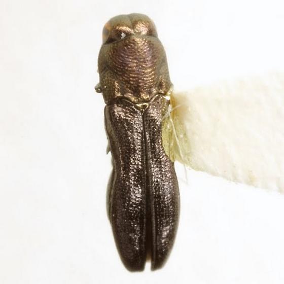 Paragrilus rugatulus Thomson - Paragrilus rugatulus