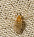Midge - Procladius bellus - female