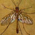 Unknown Wasp - Enicospilus purgatus - female