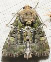 Unknown moth - Oligia chlorostigma