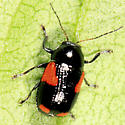 Leaf Beetle - Cryptocephalus quadruplex