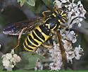7009728-Spilomyia - Spilomyia liturata - female