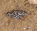 Western Red-Bellied Tiger Beetle - Cicindelidia sedecimpunctata - male - female