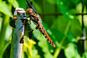 the dragons are back - Plathemis lydia