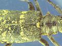 Sawyer - Monochamus scutellatus - female