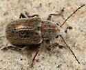 leaf beetle - Colaspidea smaragdula