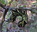 Caterpillar--some type of sphingid? - Crinodes biedermani