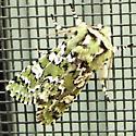 deceptive sallow? Moth - Feralia jocosa