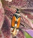 Another Native Salvia Bug - Macrotylus vanduzeei