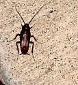 ksprogoe beetle 1 - Blatta orientalis