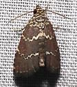 brown moth with 2 yellow lines - Phoenicophanta modestula