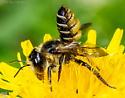 Hymenoptera. Megachilidae. Megachile. - Megachile inermis