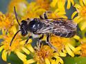 Male Andrena Bee on  Goldenrod - Andrena - male