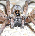 Wolf Spider? Comments appreciated. - Hogna lenta