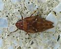 a brown Spittle Bug - Aphrophora cribrata