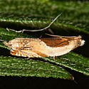 Black-marked Ancylis - Ancylis metamelana