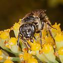 Maybe Andrena? - Lasioglossum - female