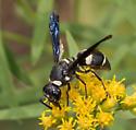 Pseudodynerus quadrisectus? - Euodynerus megaera